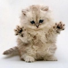 """* * MEDICAL AFFLICTION: DIAGNOSIS: Severe self- loathing KITTEN: """" If dis wuz mirror here, me woulds destroy meself."""" PROGNOSIS: With intense therapy, kitten can lost interest in current affliction. All will be well for a bright future."""