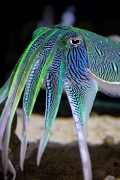 We've got the Monday blues… and greens, and zebra stripes and 😍 Dressing to impress under the sea, male kisslip cuttlefish (Sepia lycidas) flash brilliant neon hues of blue and green thanks to. Beautiful Sea Creatures, Deep Sea Creatures, Animals Beautiful, Deep Sea Animals, Wild Animals, Underwater Creatures, Underwater Life, Fauna Marina, Monterey Bay Aquarium