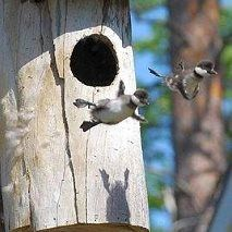 common gold eye duck chicks first flight