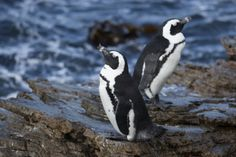 Betty's Bay is home to a cute little penguin colony, a less crowded alternative to Boulders Beach in Simon's Town, South Africa. Boulder Beach, Table Mountain, Whale Watching, Marine Life, Bouldering, Penguins, South Africa, Safari, Cape