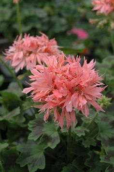 Graffiti Double Salmon Geranium (Pelargonium 'Graffiti Double Salmon') at Chalet Nursery