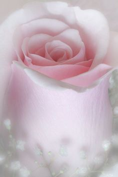Soft pink rose with babies breath. My Flower, Pretty Flowers, Pretty In Pink, Pink Flowers, Red Roses, Perfect Pink, Tout Rose, Colorful Roses, Deco Floral