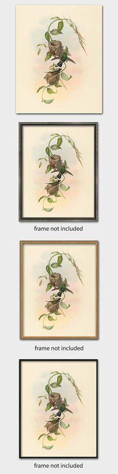 """Hummingbird Artwork, John Gould Print (1800s Birds Nest Art, Antique Home Decor) """"Brazilian Emerald"""" -- Unframed"""
