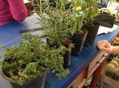 Compramos 4 plantas de olor como hierbabuena y tomillo entre otras para colocarlas en la jardinera