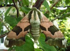 UK Hawk Moths - Eyed Hawk, Poplar Hawk, Lime Hawk and Elephant Hawk