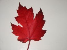 maple leaves pictures - Bing images