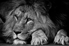 de leeuw van artis | Dieren | Zoom.nl