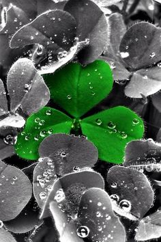green clover,,,color splash,,,