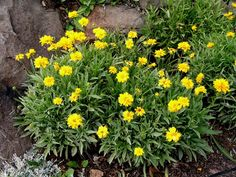Coreopsis- drought tolerant, blooms all summer