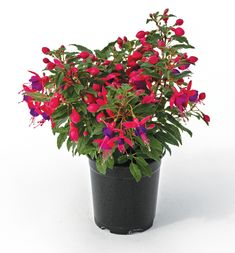 Verenpisara 'fuchsita rose-blue' Rose, Plants, Pink, Plant, Roses, Planets
