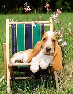 © Kimball Stock Basset Hound Puppy Laying In Beach Chair By Flowers In Field Basset Puppies, Hound Puppies, Basset Hound Puppy, Beagles, Dachshunds, Bassett Hound, Lap Dogs, Dog Rules, Mundo Animal