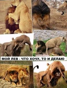 lav i lavica / lion and liones Tiger Love, Lion Love, Funny Cute Cats, Cute Funny Animals, Big Cats, Cats And Kittens, Lion Cub, Animal Kingdom, Pet Birds