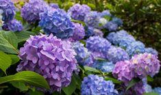 Hortensias : Les 21 erreurs à ne pas faire Types Of Hydrangeas, Hydrangea Colors, Hydrangea Bouquet, Hydrangea Care, Hydrangea Not Blooming, Caring For Hydrangeas, Pruning Hydrangeas, Purple Hydrangeas, Flowers Perennials