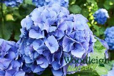 Hydrangea macrophylla Merritts Supreme Hydrangea Macrophylla, Perennials, Supreme, Nursery, Baby Room, Hydrangeas, Child Room, Perennial, Babies Rooms