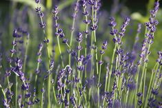 Day 166: Lavender