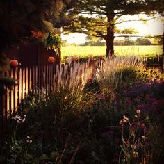 Pumpkins on fence. Our fall garden.
