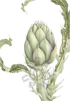 artichoke botanical drawing - Google Search