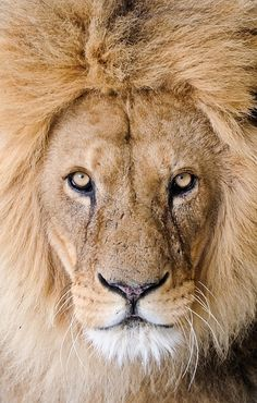 I love Lions...strength and perseverance
