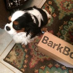 """Mama, can we open it?"" Tricolor Cavalier King Charles Spaniel"