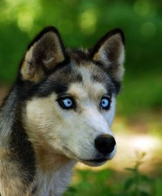 Arctic blue eyed Siberian Husky