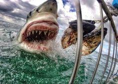 Non tutti i souvenir sono uguali. Amanda Brower, un'insegnante del New Jersey appassionata di ecoturismo, ha portato con sè dal Sud Africa un primo piano di uno squalo bianco. Durante un viaggio organizzato da un'associazione animalista, si era immersa in una gabbia subacquea nei pressi di Se