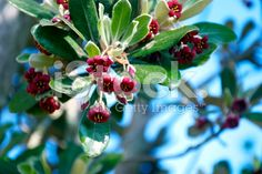 Pittosporum crassifoliumis a small tree or shrub native to New. Small Trees, Native Plants, Image Now, Shrubs, Flora, Royalty Free Stock Photos, Photography, Beautiful, Photograph