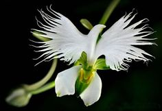 Cheap plant garden seeds, Buy Quality planting seeds indoors directly from China seeds home Suppliers: Japanese Radiata Seeds White Egret Orchid Seeds World's Rare Orchid Species White Flowers Orchidee Garden & Home Planting Strange Flowers, Unusual Flowers, Unusual Plants, Rare Flowers, Amazing Flowers, Beautiful Flowers, Cool Flowers, Flowers Pics, Nice Flower