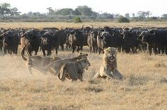 Duba Plains Camp July 2013