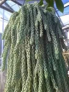 BURRO TAIl plant - Bing Images Unusual Plants, Echeveria, Pretty Flowers, Container Gardening, Succulents, Backyard, Hair Styles, Bing Images, Hanging Succulents