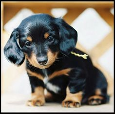 Little Dauchshund Puppy