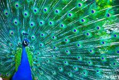 Beautiful peacock Stock Photo © Hintau Aliaksey