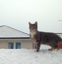 My youngest cat (Minty) on his first day in the snow