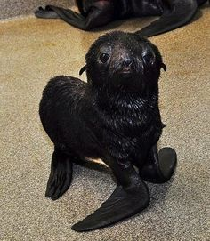 This Northern Fur Seal pup was just born at the New England Aquarium