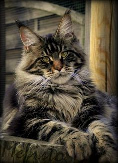 MAINE COON CAT.....originates from Maine in the United States....one of the longest recognized breeds of cats....believed to have come to North America with the arrival of the Pilgrims in the 1600s....one of the largest in the world with an average weight of 20 pounds....clever and skillful hunter...great climber