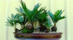 Cycas-Cycad - Cycads are ancient species, which forms a link between trees and ferns in evolutionary process. It is a true tropical, which thrive on humidity and heat. It can never cope in dry conditions.