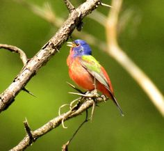Male Painted Bunting by Becky Wylie. Wildcat Glades Conservation & Audubon Center
