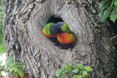 Duraid Sarsam Photography | A lorikeet couple outside the Himeji Japanese Garden on South Terrace, Adelaide, SA