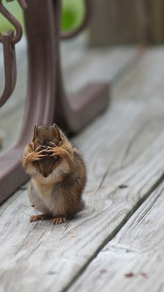 Confused Chipmunk HD.  'The chipmunk was not in despair, just grooming.  I captured it at just the right moment'- Michael Holliday