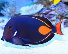 Achilles Tang Fish - The Acanthuridae are the family of surgeonfishes, tangs, and unicornfishes. The family is composed of marine fish living in tropical seas, usually around coral reefs. The distinctive characteristic of the family is the scalpel-like sp Saltwater Aquarium Fish, Saltwater Tank, Pretty Fish, Beautiful Fish, Marine Aquarium, Marine Fish, Underwater Creatures, Ocean Creatures, Colorful Fish