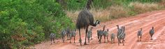 Emu is widely hunted for meat and oil. Do not buy Blue Emu remedy. Mother and babies, this is a family. Do you want to relieve your pain with the bodily fluids of SLAUGHTERED innocent creatures.