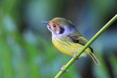miudinho -   Myiornis auricularis (Vieillot, 1818) --{ Birds }--