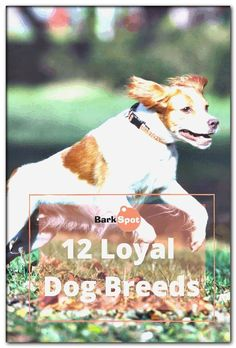 dog breeds beginning with b Loyal Dog Breeds, Dog Breeds List, Loyal Dogs, Pharaoh Hound, Portuguese Water Dog, The Fox And The Hound, German Shorthaired Pointer, German Shepherd Dogs, Pomeranian