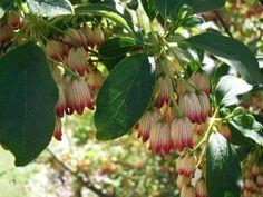 Pronkklokje Enkianthus campanulatus - Kwekersvergelijk Beth Chatto, Hedges, The Locals, Shrubs, Bonsai, Berries, Wildlife, Colours, Autumn
