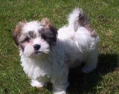 This is a Malshi (Maltese/Shih Tzu mix). I want it!