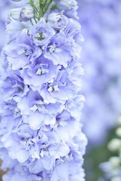 delphinium: one of my favorite flowers