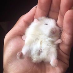 Baby Animals The Basic Inborn Instincts They Possess Vote For The Best Super Cute Animals, Cute Little Animals, Cute Funny Animals, Robo Dwarf Hamsters, Funny Hamsters, Roborovski Hamster, Baby Hamster, Cute Rats, Cute Mouse
