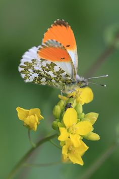 Discover the symbols and facts in the butterfly world. Orange tip butterfly. Papillon Butterfly, Butterfly Kisses, Butterfly Flowers, Butterfly Wings, White Butterfly, Butterfly Chrysalis, Flying Flowers, Butterflies Flying, Beautiful Bugs