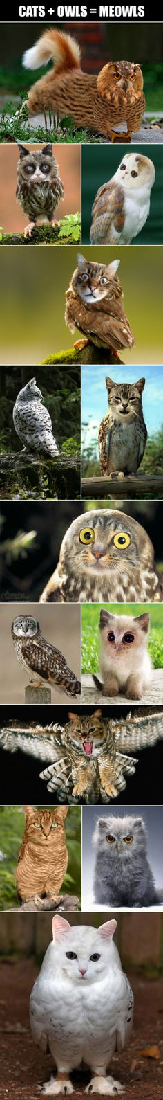Cats + owls = meowls - Just DWL || The Ultimate Trolling