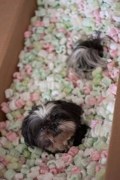 My Shih Tzu arrived today. Shih Tzus, Shih Tzu Puppy, Animals And Pets, Funny Animals, Cute Animals, Funny Dogs, Cute Puppies, Dogs And Puppies, Adorable Dogs