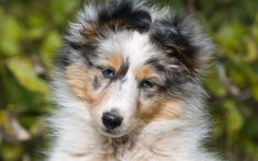 The Shetland Sheepdog originated in the and its ancestors were from Scotland, which worked as herding dogs. These early dogs were fairly Rough Collie Puppy, Collie Puppies, Dogs And Puppies, Mini Shetland, Blue Merle Sheltie, Dog Dna Test, Shetland Sheepdog Puppies, Sweet Dogs, Herding Dogs